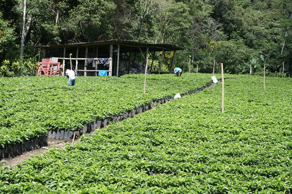 Mamé Noka Coffee - Hacienda Rio Negra - Seedlings.jpg